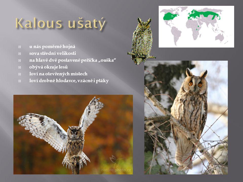 """ u nás poměrně hojná  sova střední velikosti  na hlavě dvě postavené peříčka """"ouška""""  obývá okraje lesů  loví na otevřených místech  loví drobné"""