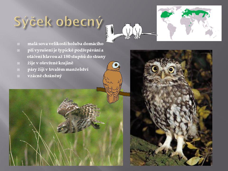  malá sova velikosti holuba domácího  při vyrušení je typické podřepávání a otáčení hlavou až 180 stupňů do strany  žije v otevřené krajině  páry