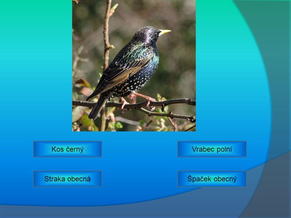 Vrabec polníKos černý Straka obecnáŠpaček obecný