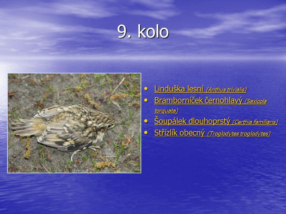 9. kolo Linduška lesní (Anthus trivialis) Linduška lesní (Anthus trivialis) Linduška lesní (Anthus trivialis) Linduška lesní (Anthus trivialis) Brambo