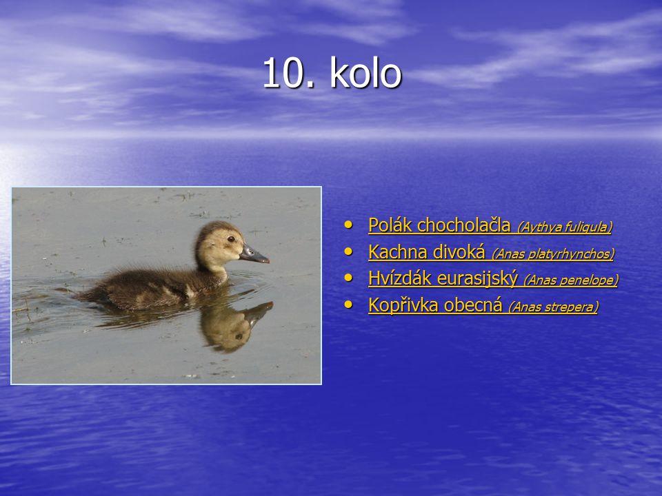 10. kolo Polák chocholačla (Aythya fuligula) Polák chocholačla (Aythya fuligula) Polák chocholačla (Aythya fuligula) Polák chocholačla (Aythya fuligul
