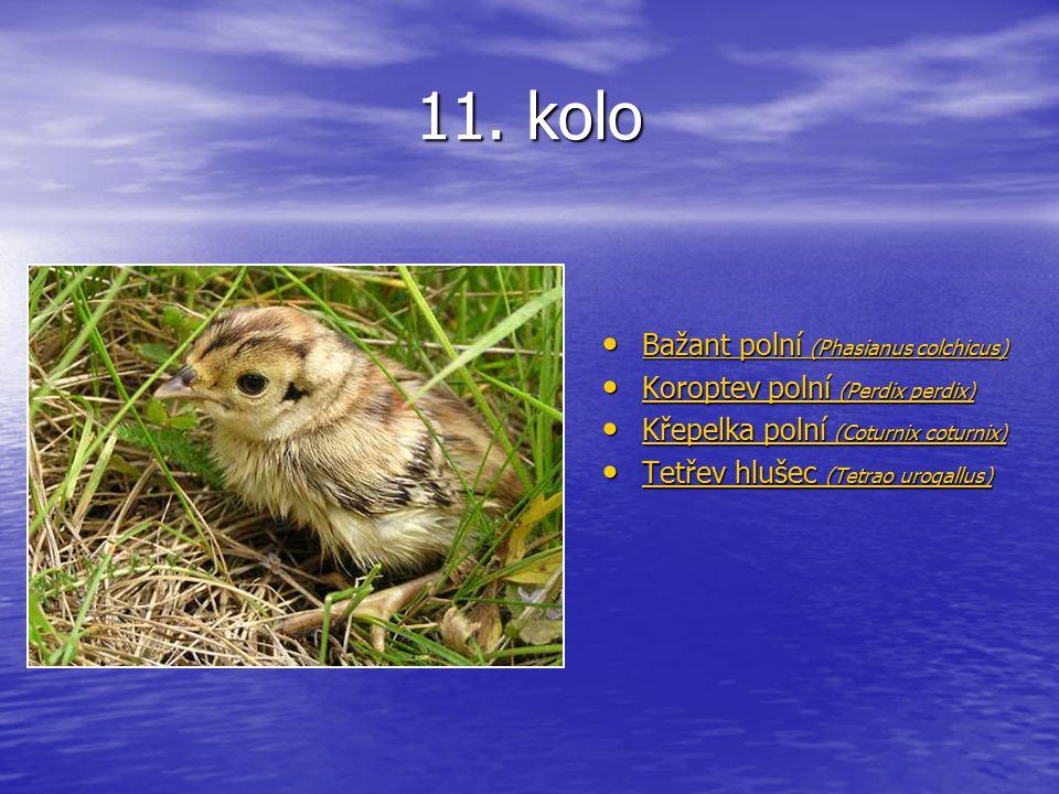 11. kolo Bažant polní (Phasianus colchicus) Bažant polní (Phasianus colchicus) Bažant polní (Phasianus colchicus) Bažant polní (Phasianus colchicus) K