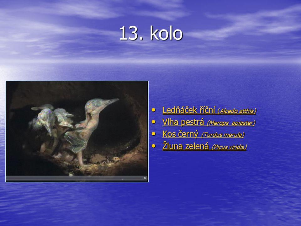 13. kolo Ledňáček říční (Alcedo atthis) Ledňáček říční (Alcedo atthis) Ledňáček říční (Alcedo atthis) Ledňáček říční (Alcedo atthis) Vlha pestrá (Mero