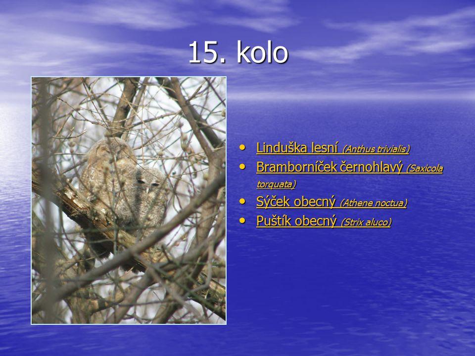 15. kolo Linduška lesní (Anthus trivialis) Linduška lesní (Anthus trivialis) Linduška lesní (Anthus trivialis) Linduška lesní (Anthus trivialis) Bramb