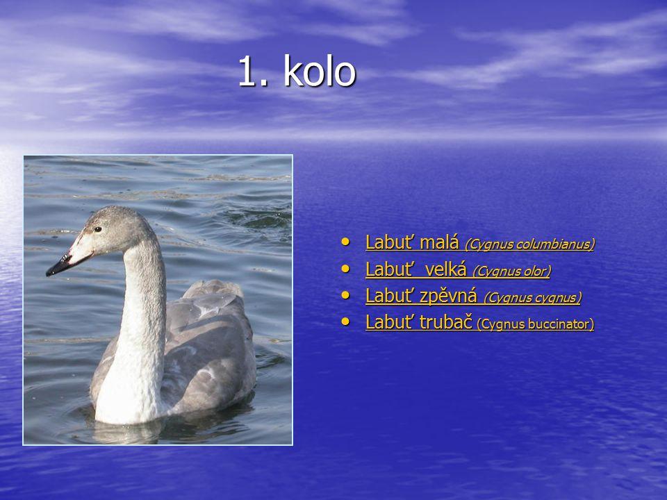 1. kolo Labuť malá (Cygnus columbianus) Labuť malá (Cygnus columbianus) Labuť malá (Cygnus columbianus) Labuť malá (Cygnus columbianus) Labuť velká (C