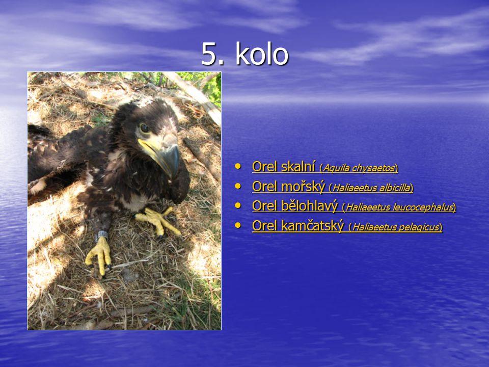 5. kolo Orel skalní (Aquila chysaetos) Orel skalní (Aquila chysaetos) Orel skalní (Aquila chysaetos) Orel skalní (Aquila chysaetos) Orel mořský (Halia