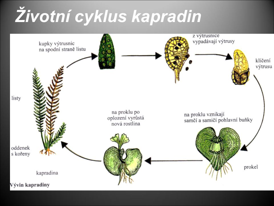 Životní cyklus kapradin