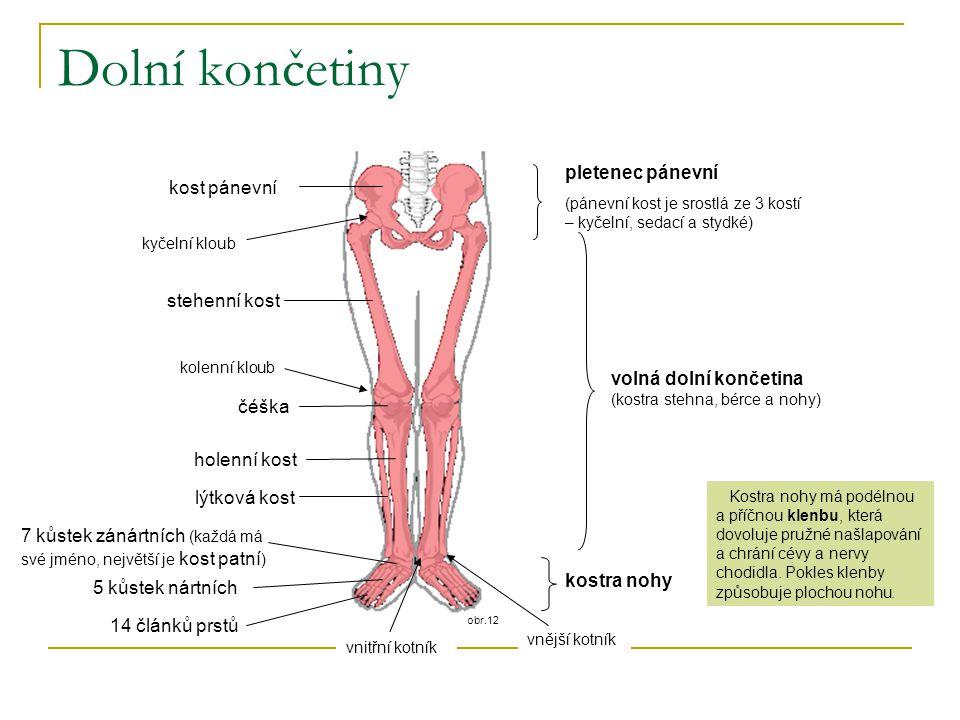 obr.12 Dolní končetiny kost pánevní stehenní kost holenní kost lýtková kost čéška kyčelní kloub kolenní kloub vnější kotník vnitřní kotník pletenec pá