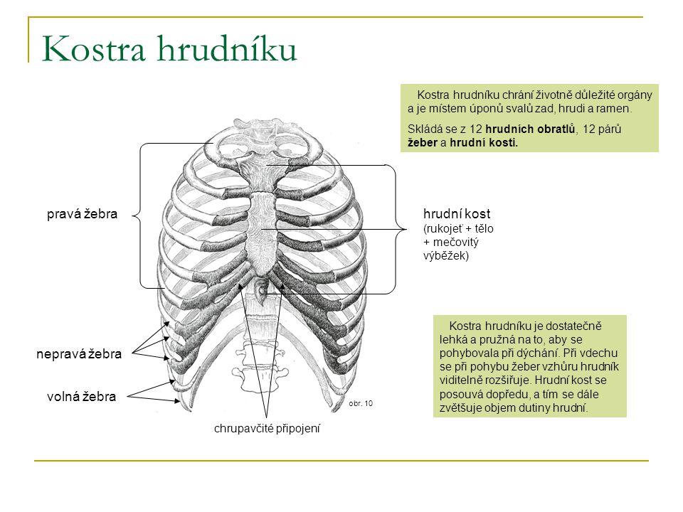 obr. 10 Kostra hrudníku hrudní kost (rukojeť + tělo + mečovitý výběžek) pravá žebra nepravá žebra volná žebra Kostra hrudníku chrání životně důležité