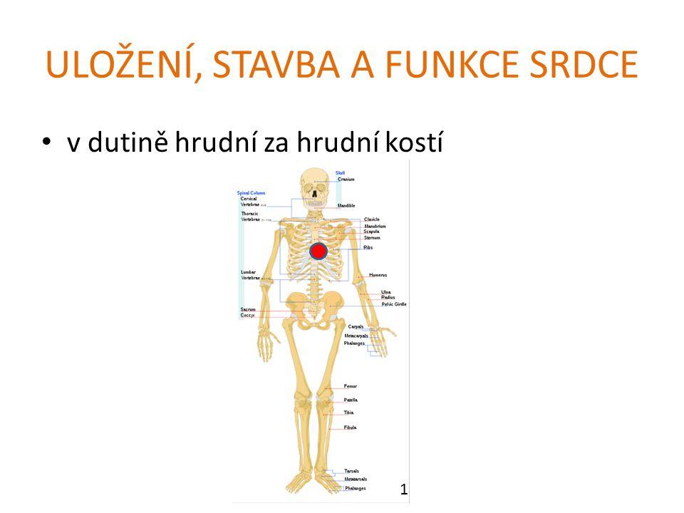 ULOŽENÍ, STAVBA A FUNKCE SRDCE v dutině hrudní za hrudní kostí 1