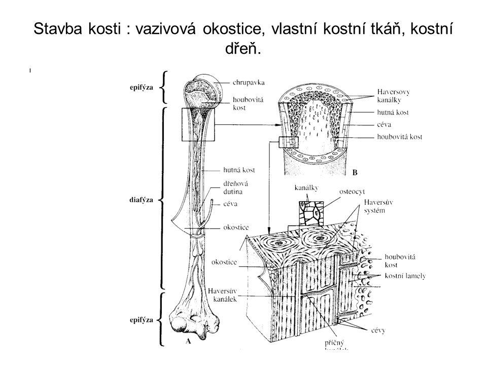 Spojení kostí : 1. nepohyblivé (vazivem, chrupavkou, kostní tkání) 2. pohyblivé - kloub I