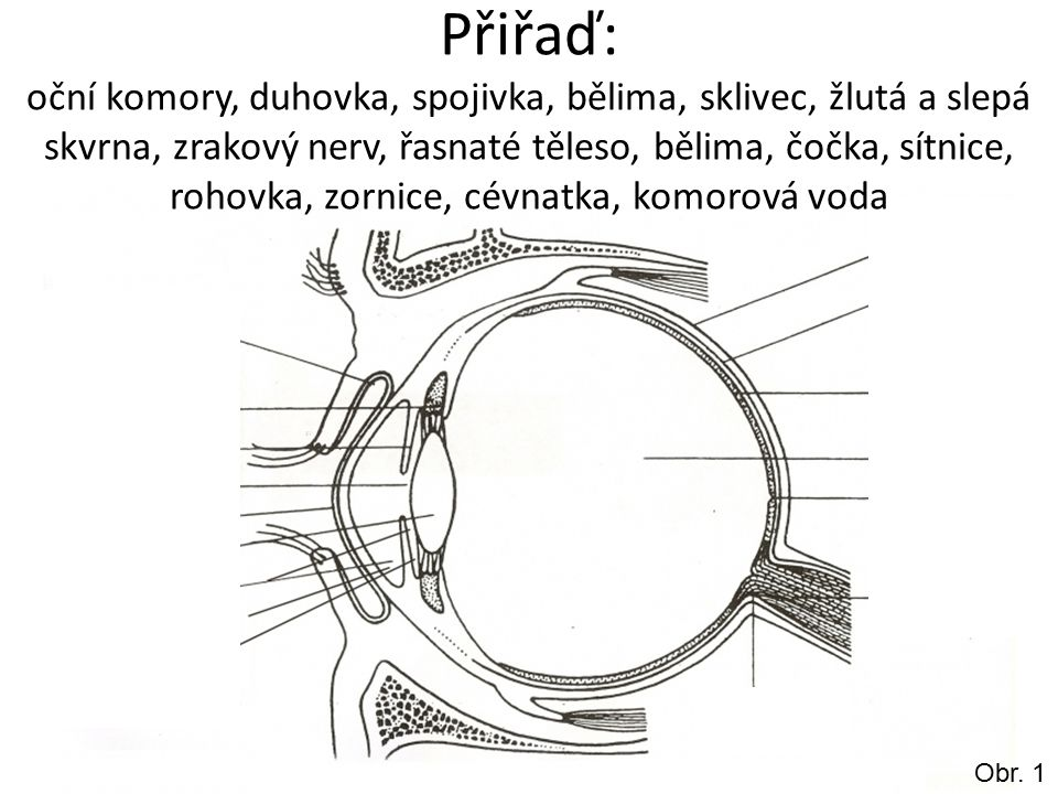 Obr. 1 Přiřaď: oční komory, duhovka, spojivka, bělima, sklivec, žlutá a slepá skvrna, zrakový nerv, řasnaté těleso, bělima, čočka, sítnice, rohovka, z