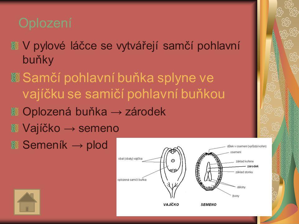 Oplození V pylové láčce se vytvářejí samčí pohlavní buňky Samčí pohlavní buňka splyne ve vajíčku se samičí pohlavní buňkou Oplozená buňka → zárodek Va