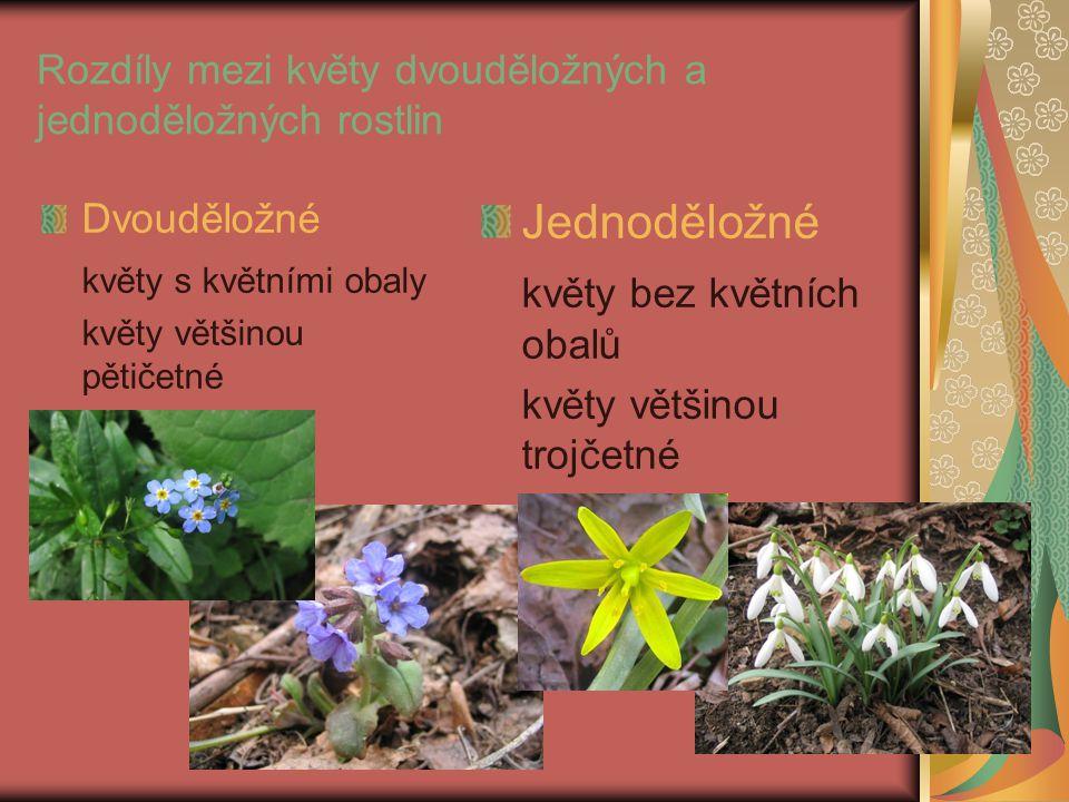 Rozdíly mezi květy dvouděložných a jednoděložných rostlin Dvouděložné květy s květními obaly květy většinou pětičetné Jednoděložné květy bez květních