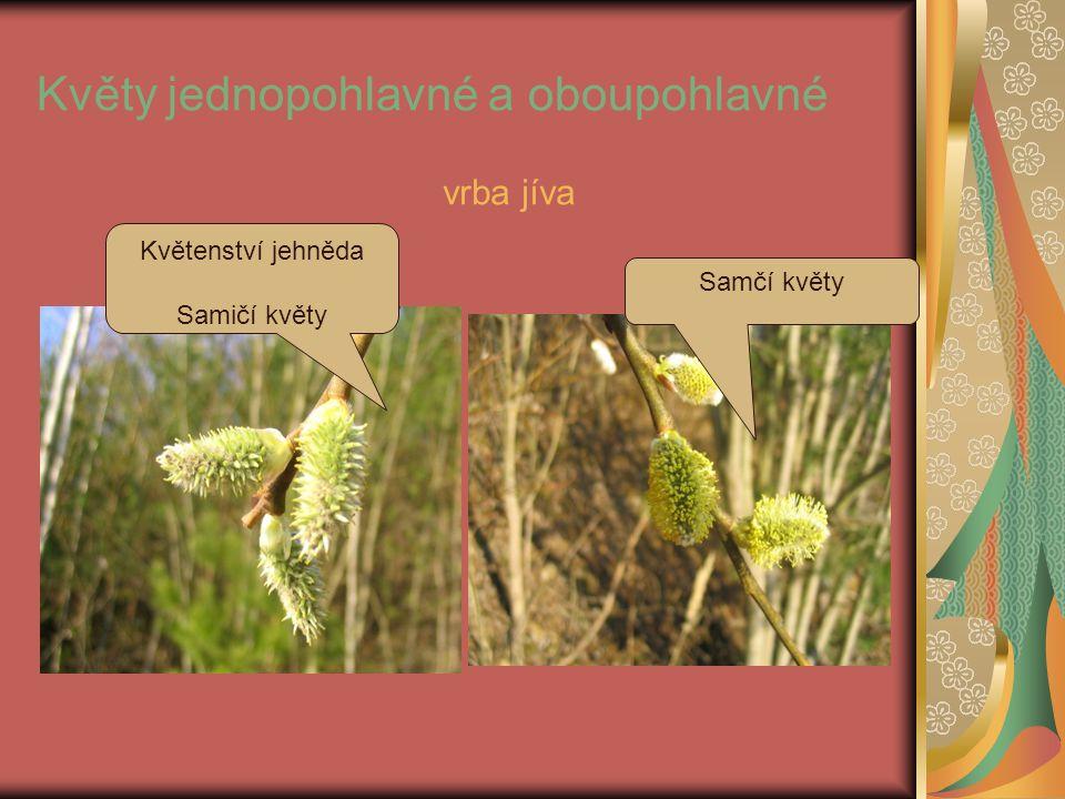 Květy jednopohlavné a oboupohlavné Samčí květy Květenství jehněda Samičí květy vrba jíva