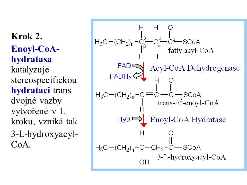 Krok 2. Enoyl-CoA- hydratasa katalyzuje stereospecifickou hydrataci trans dvojné vazby vytvořené v 1. kroku, vzniká tak 3-L-hydroxyacyl- CoA.