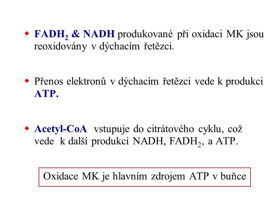  FADH 2 & NADH produkované při oxidaci MK jsou reoxidovány v dýchacím řetězci.  Přenos elektronů v dýchacím řetězci vede k produkci ATP.  Acetyl-Co