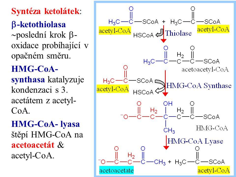 Syntéza ketolátek:  -ketothiolasa  poslední krok  - oxidace probíhající v opačném směru. HMG-CoA- synthasa katalyzuje kondenzaci s 3. acetátem z ac