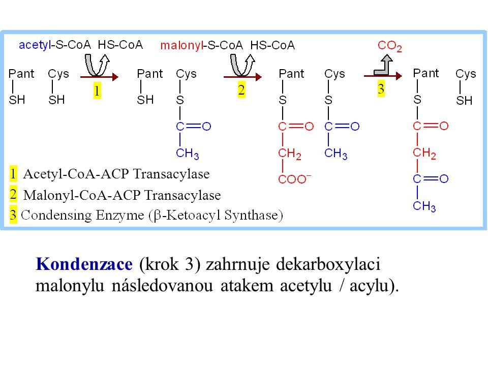 Kondenzace (krok 3) zahrnuje dekarboxylaci malonylu následovanou atakem acetylu / acylu). Acetyl-CoA-ACP Transacylase Malonyl-CoA-ACP Transacylase