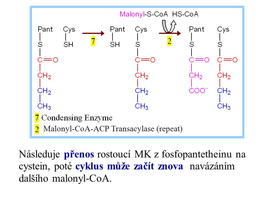 Následuje přenos rostoucí MK z fosfopantetheinu na cystein, poté cyklus může začít znova navázáním dalšího malonyl-CoA. Malonyl-CoA-ACP Transacylase (