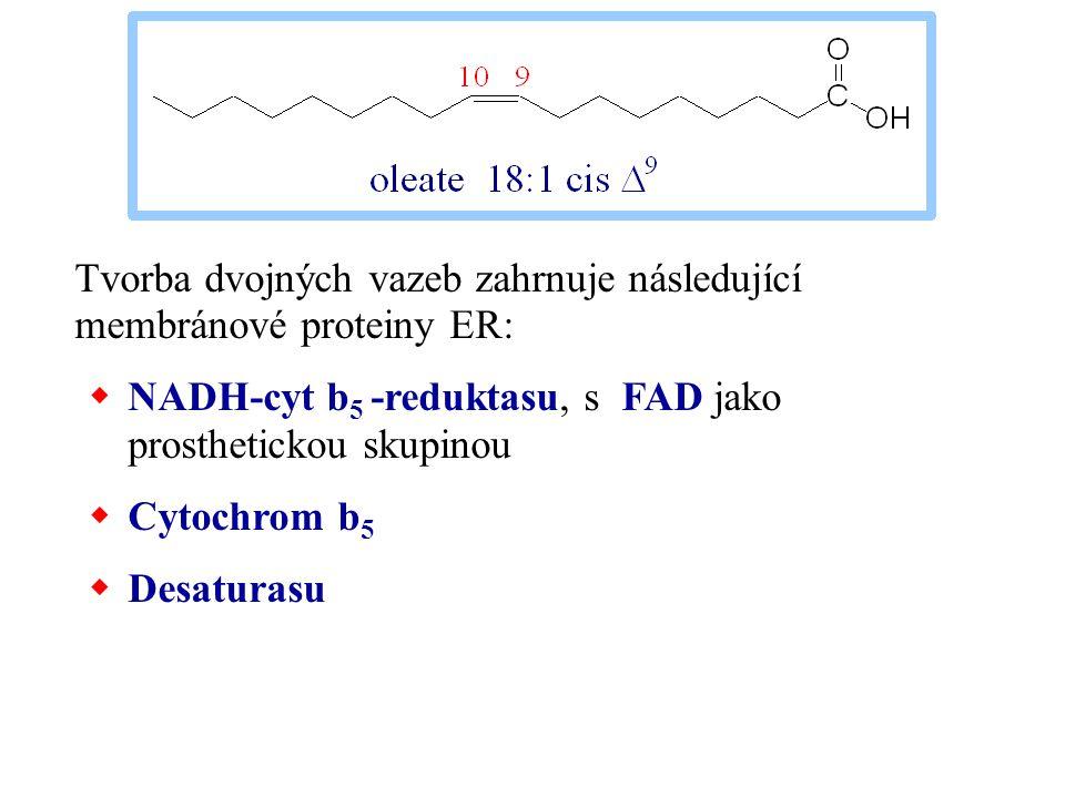 Tvorba dvojných vazeb zahrnuje následující membránové proteiny ER:  NADH-cyt b 5 -reduktasu, s FAD jako prosthetickou skupinou  Cytochrom b 5  Desa