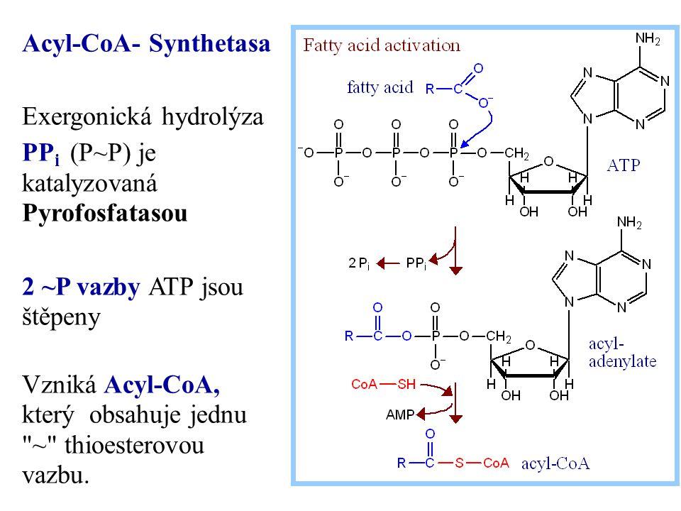 Acyl-CoA- Synthetasa Exergonická hydrolýza PP i (P~P) je katalyzovaná Pyrofosfatasou 2 ~P vazby ATP jsou štěpeny Vzniká Acyl-CoA, který obsahuje jednu