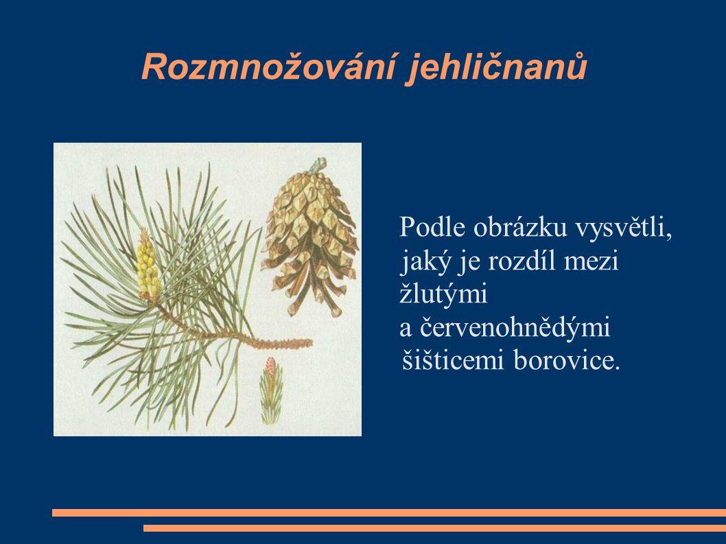 Rozmnožování jehličnanů Podle obrázku vysvětli, jaký je rozdíl mezi žlutými a červenohnědými šišticemi borovice.