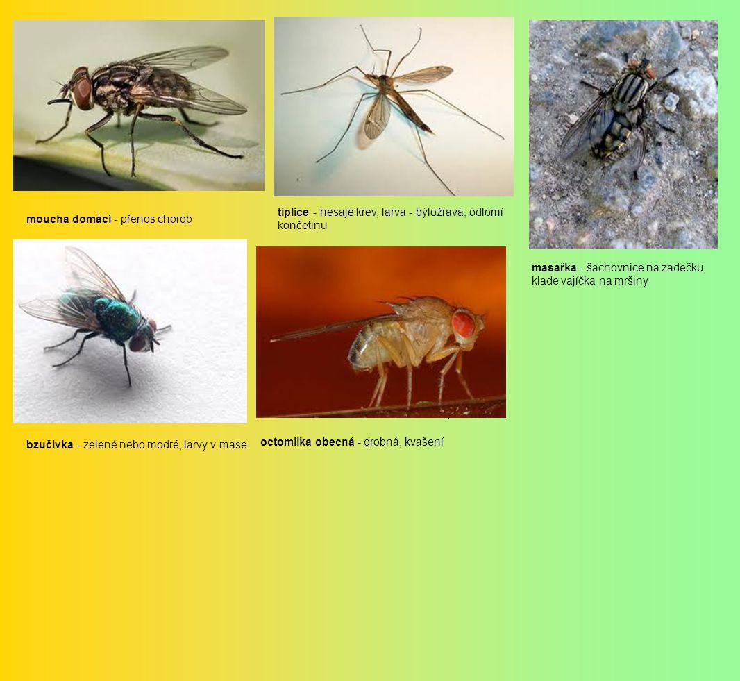 moucha domácí - přenos chorob tiplice - nesaje krev, larva - býložravá, odlomí končetinu masařka - šachovnice na zadečku, klade vajíčka na mršiny bzučivka - zelené nebo modré, larvy v mase V octomilka obecná - drobná, kvašení