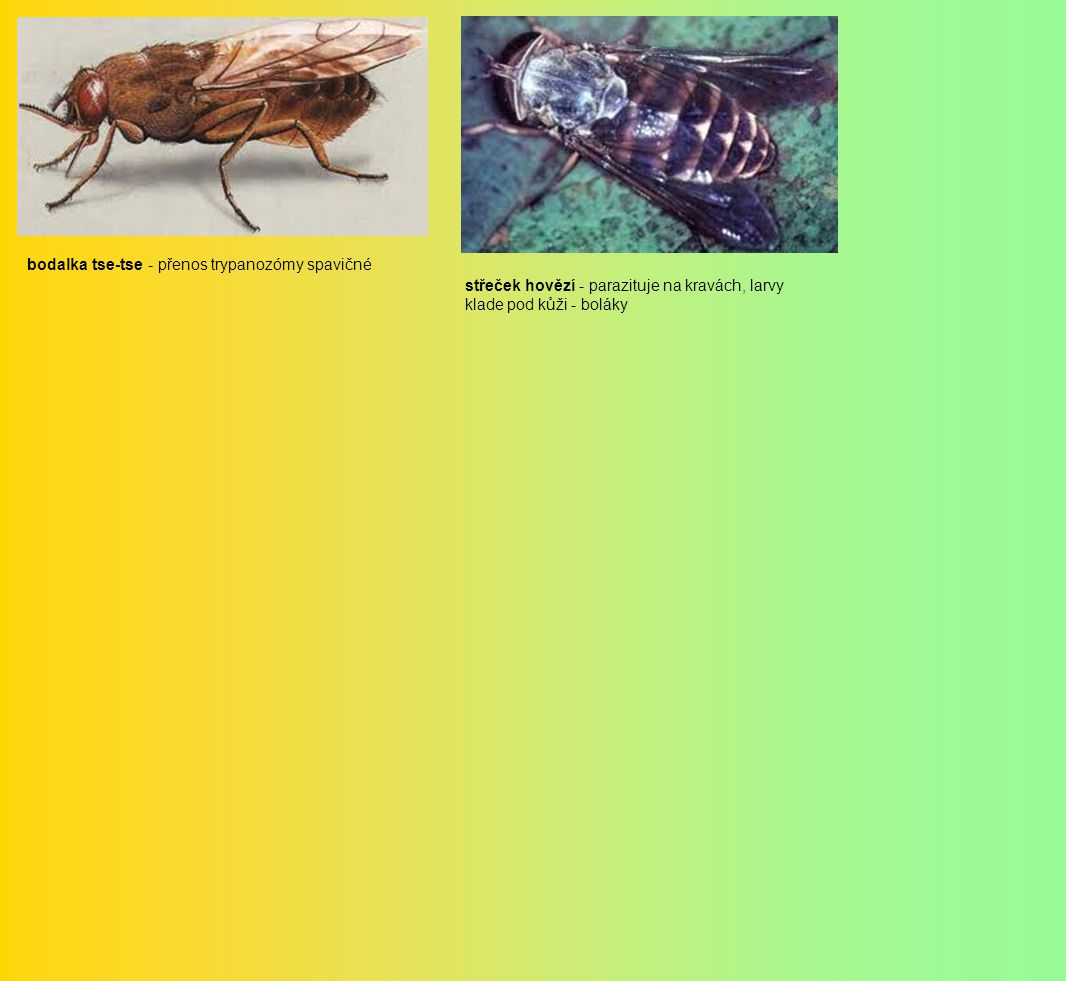 bodalka tse-tse - přenos trypanozómy spavičné střeček hovězí - parazituje na kravách, larvy klade pod kůži - boláky