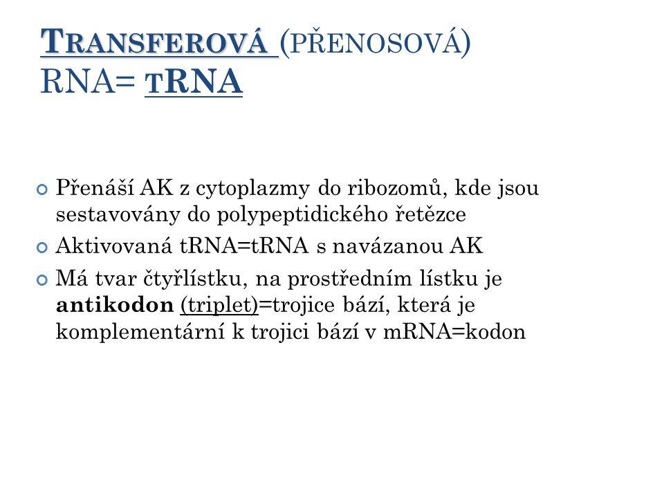 T RANSFEROVÁ T RANSFEROVÁ ( PŘENOSOVÁ ) RNA= T RNA Přenáší AK z cytoplazmy do ribozomů, kde jsou sestavovány do polypeptidického řetězce Aktivovaná tRNA=tRNA s navázanou AK Má tvar čtyřlístku, na prostředním lístku je antikodon (triplet)=trojice bází, která je komplementární k trojici bází v mRNA=kodon 11
