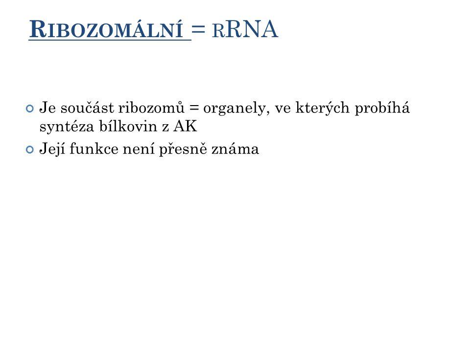 R IBOZOMÁLNÍ = R RNA Je součást ribozomů = organely, ve kterých probíhá syntéza bílkovin z AK Její funkce není přesně známa 12