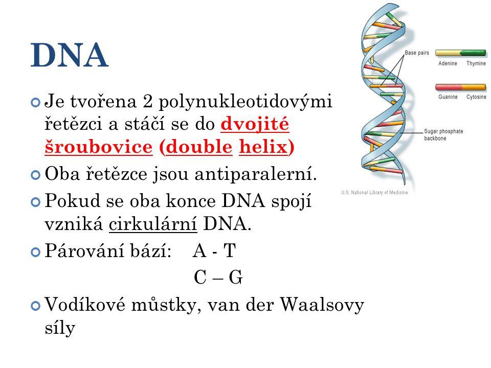DNA Je tvořena 2 polynukleotidovými řetězci a stáčí se do dvojité šroubovice (double helix) Oba řetězce jsou antiparalerní.