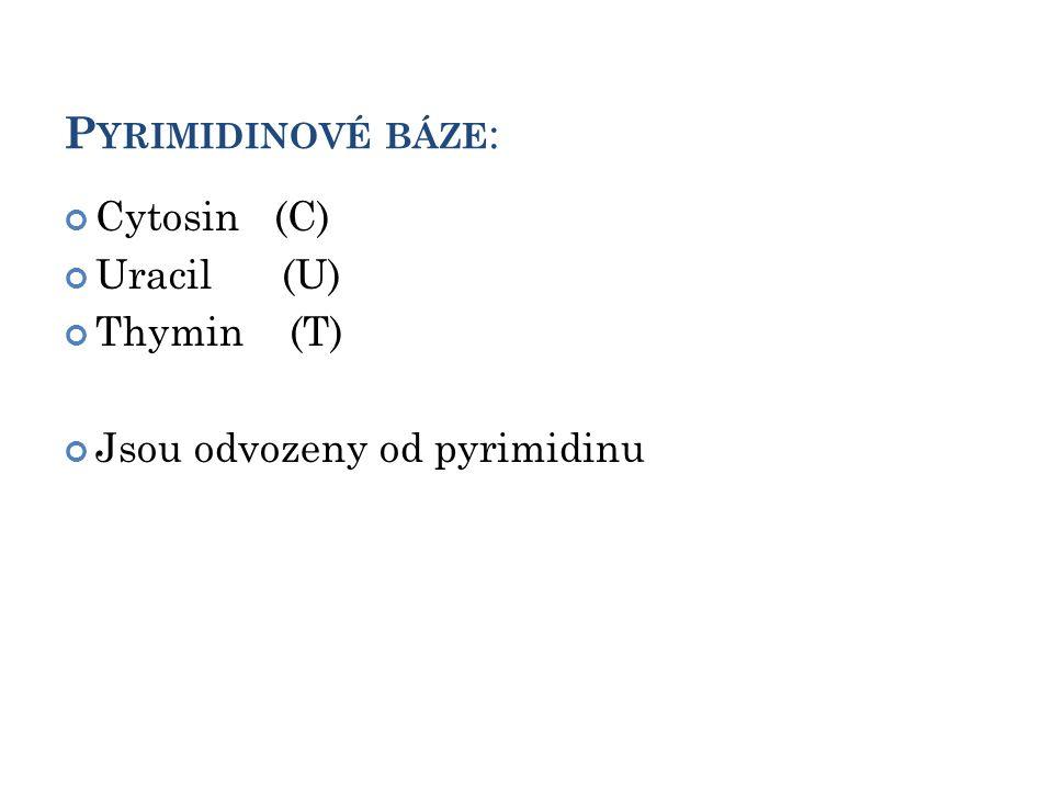 P YRIMIDINOVÉ BÁZE : Cytosin (C) Uracil (U) Thymin (T) Jsou odvozeny od pyrimidinu 6