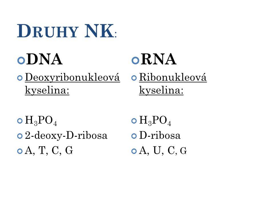 D RUHY NK : 7 DNA Deoxyribonukleová kyselina: H 3 PO 4 2-deoxy-D-ribosa A, T, C, G RNA Ribonukleová kyselina: H 3 PO 4 D-ribosa A, U, C, G