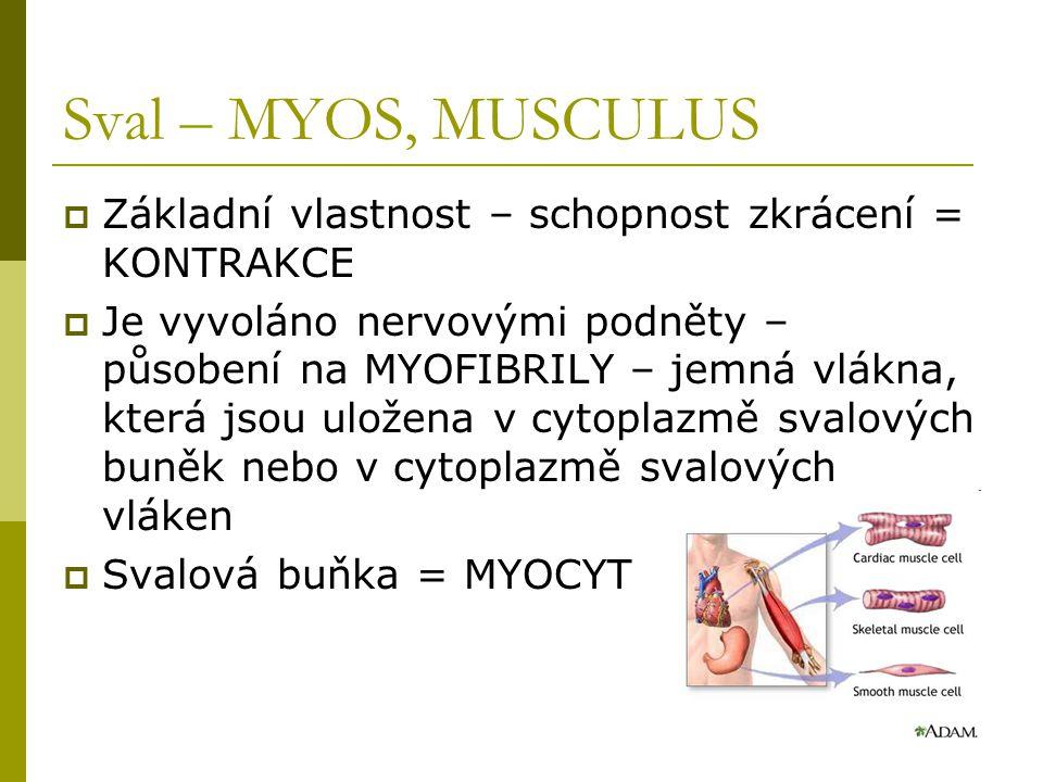 Sval – MYOS, MUSCULUS  Základní vlastnost – schopnost zkrácení = KONTRAKCE  Je vyvoláno nervovými podněty – působení na MYOFIBRILY – jemná vlákna, která jsou uložena v cytoplazmě svalových buněk nebo v cytoplazmě svalových vláken  Svalová buňka = MYOCYT