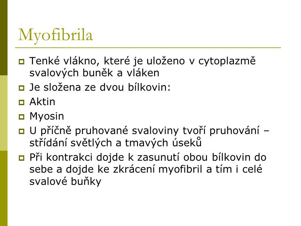 Myofibrila  Tenké vlákno, které je uloženo v cytoplazmě svalových buněk a vláken  Je složena ze dvou bílkovin:  Aktin  Myosin  U příčně pruhované