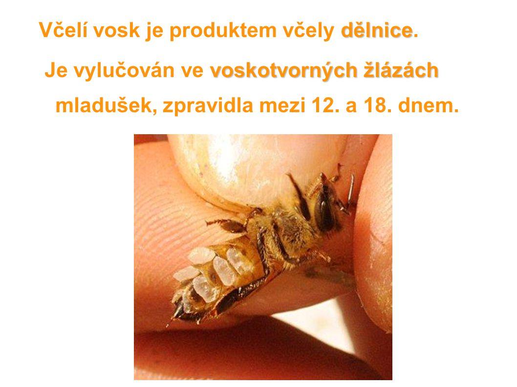 dělnice Včelí vosk je produktem včely dělnice. voskotvorných žlázách Je vylučován ve voskotvorných žlázách mladušek, zpravidla mezi 12. a 18. dnem.