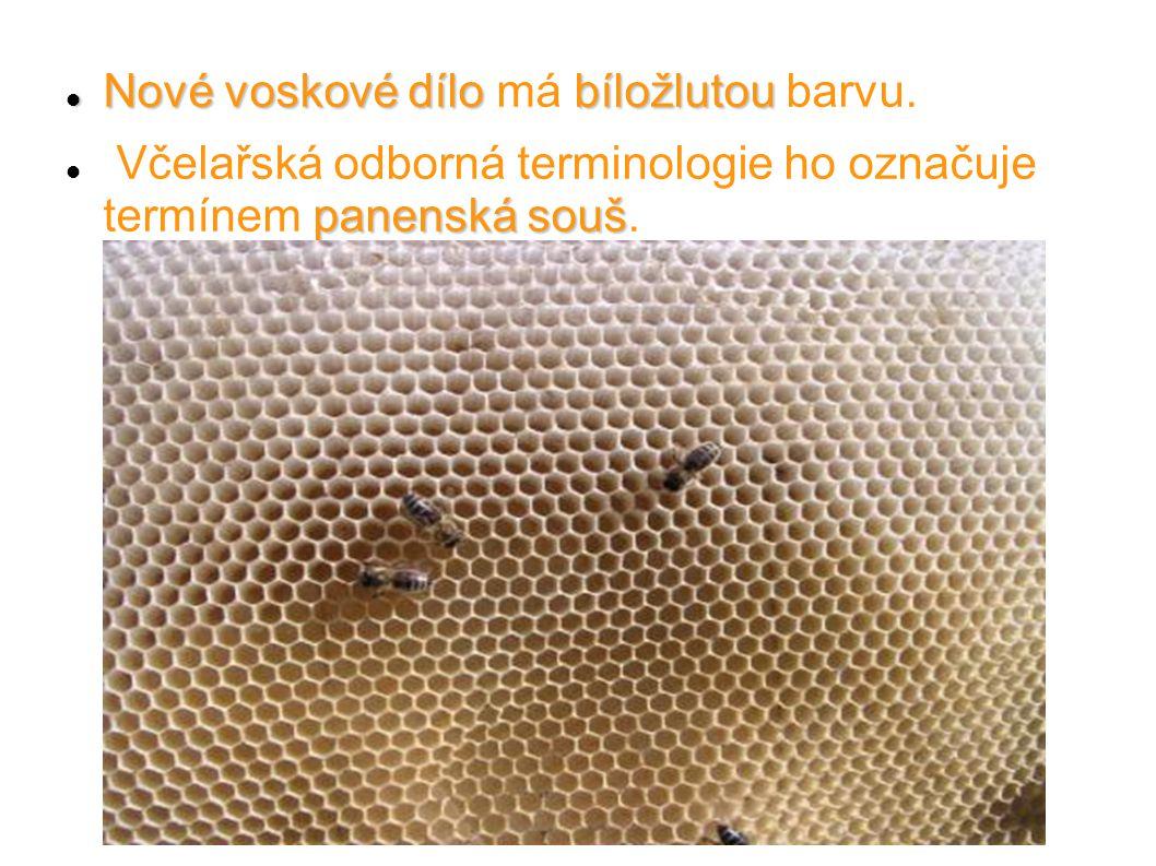 Nové voskové dílobíložlutou Nové voskové dílo má bíložlutou barvu. panenská souš Včelařská odborná terminologie ho označuje termínem panenská souš.