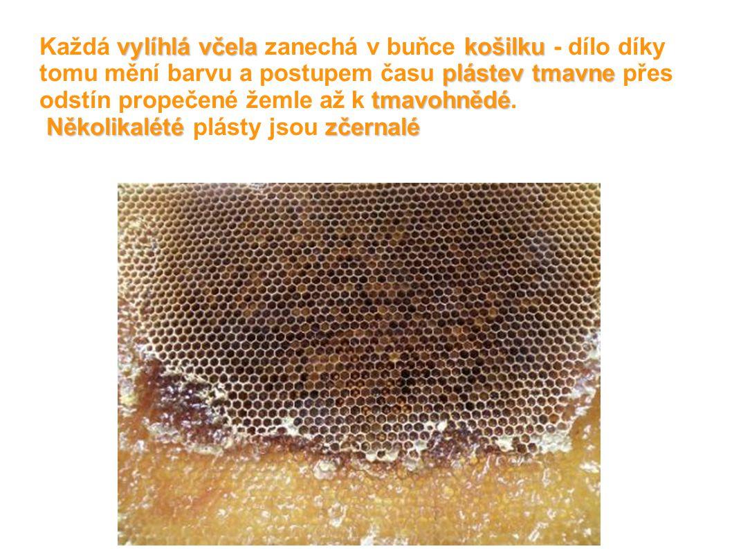 vylíhlá včelakošilku plástev tmavne tmavohnědé Několikalétézčernalé Každá vylíhlá včela zanechá v buňce košilku - dílo díky tomu mění barvu a postupem času plástev tmavne přes odstín propečené žemle až k tmavohnědé.