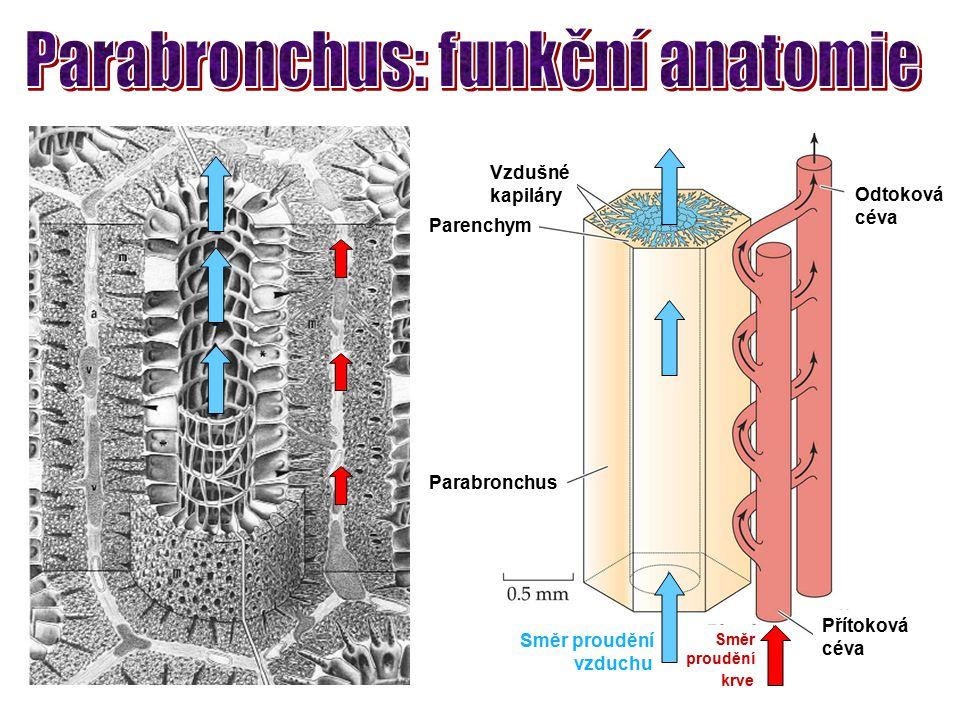 Parabronchus Směr proudění vzduchu Směr proudění krve Přítoková céva Odtoková céva Parenchym Vzdušné kapiláry