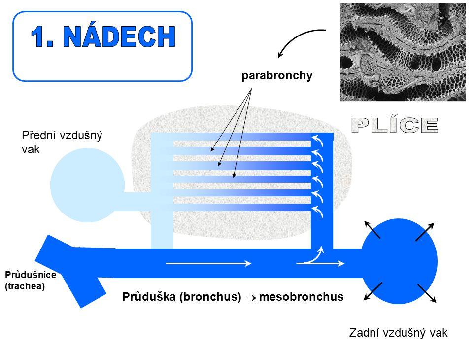 Průdušnice (trachea) Přední vzdušný vak Zadní vzdušný vak Průduška (bronchus)  mesobronchus parabronchy