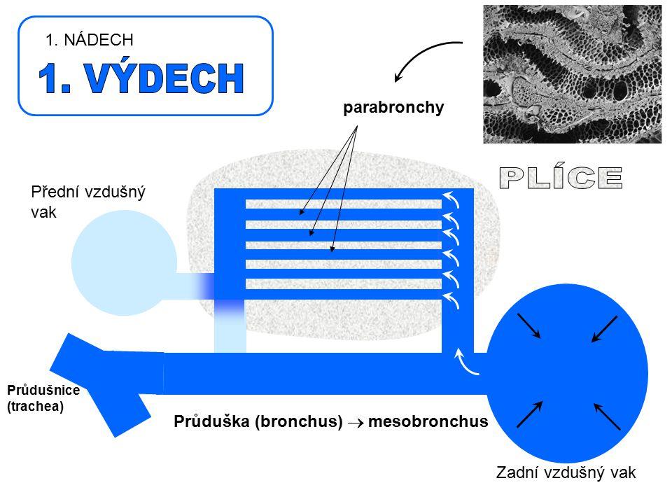 Průdušnice (trachea) Přední vzdušný vak Zadní vzdušný vak Průduška (bronchus)  mesobronchus parabronchy 1. NÁDECH