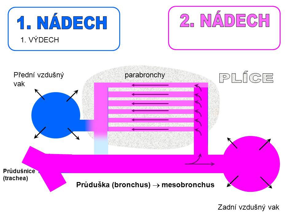 Průdušnice (trachea) Zadní vzdušný vak Průduška (bronchus)  mesobronchus parabronchy 1. VÝDECH Přední vzdušný vak