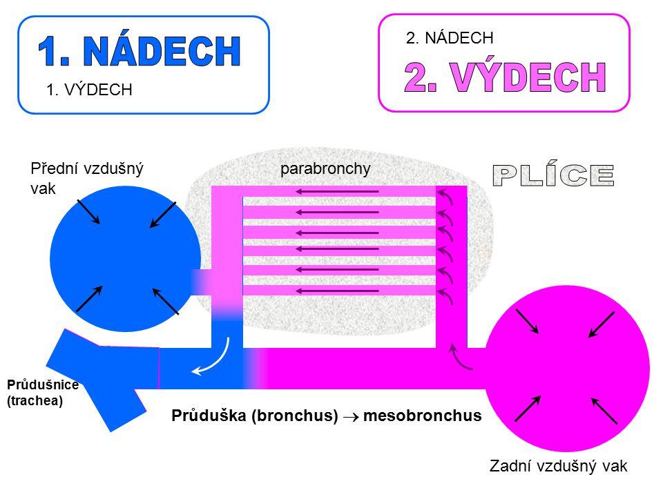 Průdušnice (trachea) Zadní vzdušný vak Průduška (bronchus)  mesobronchus parabronchyPřední vzdušný vak 2. NÁDECH 1. VÝDECH