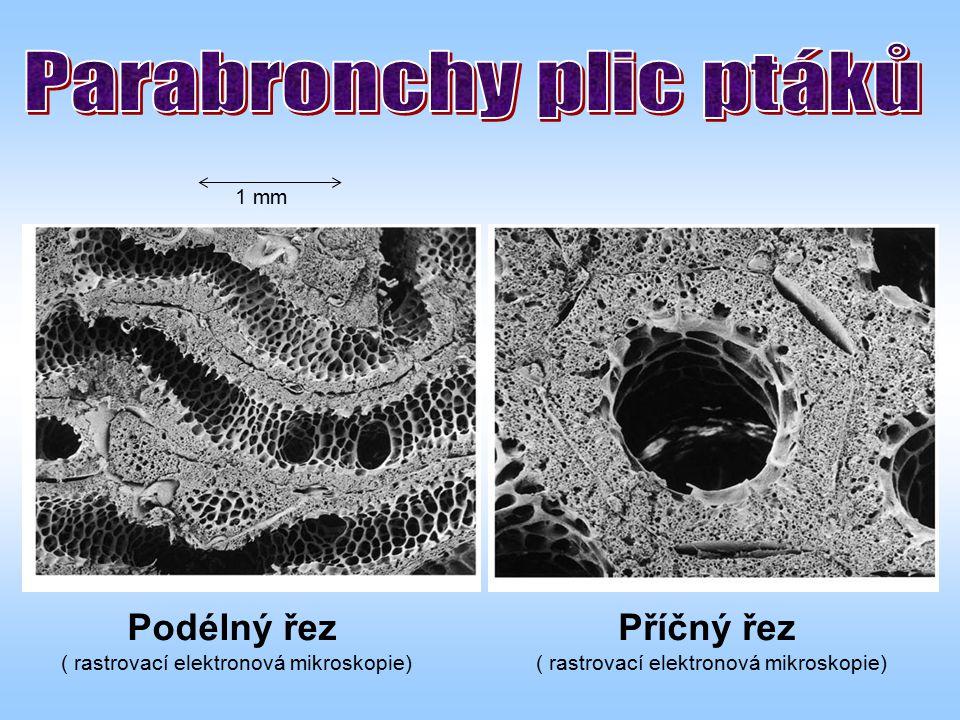 Podélný řez ( rastrovací elektronová mikroskopie) Příčný řez ( rastrovací elektronová mikroskopie) 1 mm