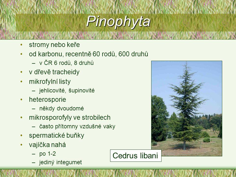 Pinophyta stromy nebo keře od karbonu, recentně 60 rodů, 600 druhů –v ČR 6 rodů, 8 druhů v dřevě tracheidy mikrofylní listy –jehlicovité, šupinovité h