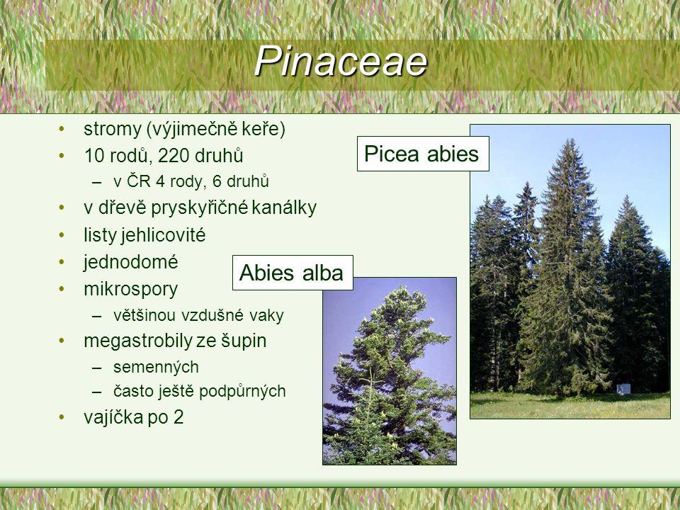 Pinaceae stromy (výjimečně keře) 10 rodů, 220 druhů –v ČR 4 rody, 6 druhů v dřevě pryskyřičné kanálky listy jehlicovité jednodomé mikrospory –většinou
