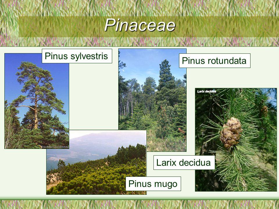 Pinaceae Pinus sylvestris Pinus mugo Pinus rotundata Larix decidua