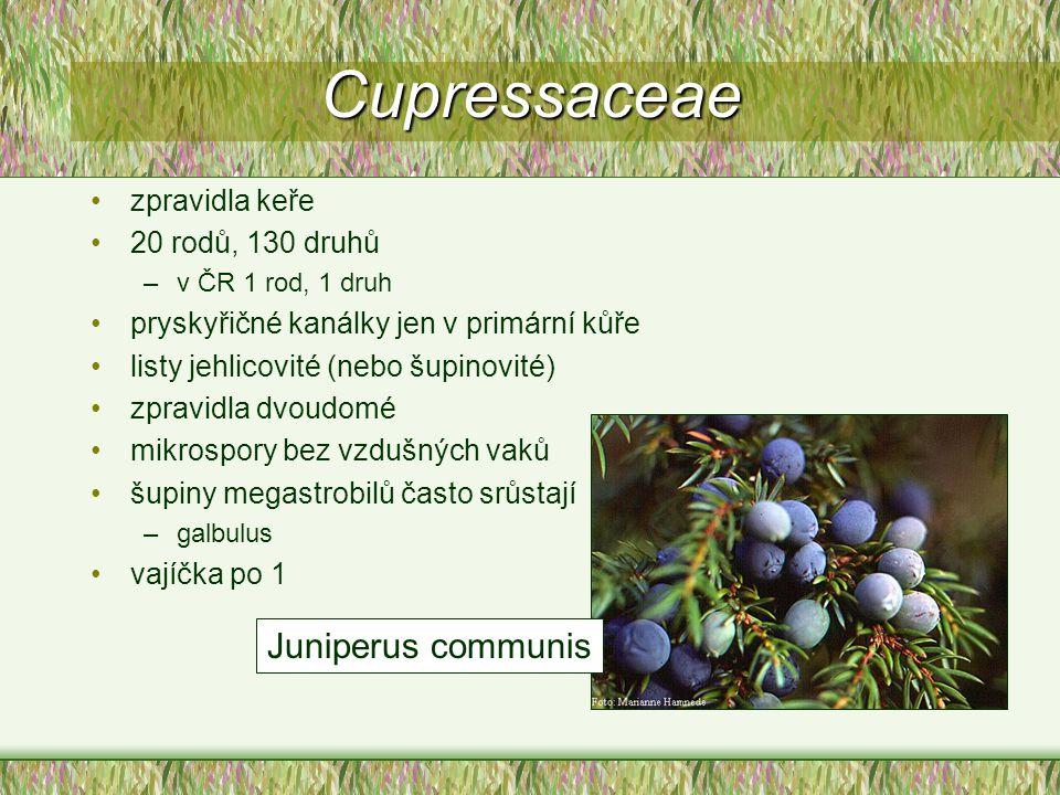 Cupressaceae zpravidla keře 20 rodů, 130 druhů –v ČR 1 rod, 1 druh pryskyřičné kanálky jen v primární kůře listy jehlicovité (nebo šupinovité) zpravid