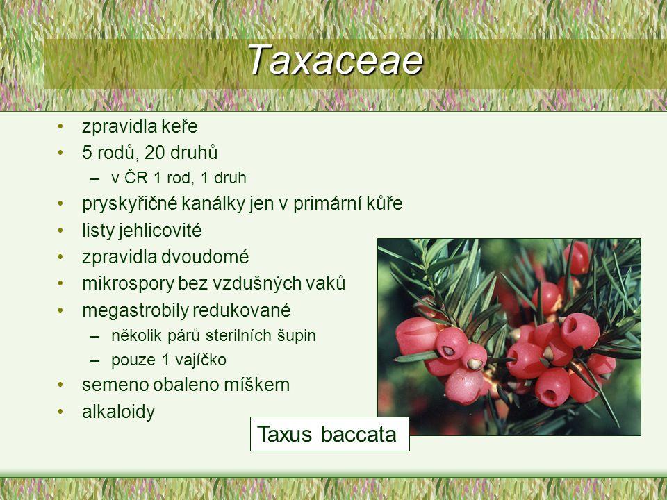 Taxaceae zpravidla keře 5 rodů, 20 druhů –v ČR 1 rod, 1 druh pryskyřičné kanálky jen v primární kůře listy jehlicovité zpravidla dvoudomé mikrospory b